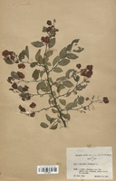 https://bibliotheque-virtuelle.bu.uca.fr/files/fichiers_bcu/Rhamnaceae_Paliurus_australis_CLF113657.jpg