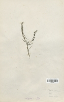https://bibliotheque-virtuelle.bu.uca.fr/files/fichiers_bcu/Santalaceae_Thesium_alpinum_CLF113700.jpg