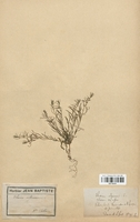 https://bibliotheque-virtuelle.bu.uca.fr/files/fichiers_bcu/Santalaceae_Thesium_alpinum_CLF113701.jpg