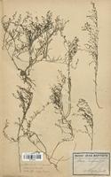 https://bibliotheque-virtuelle.bu.uca.fr/files/fichiers_bcu/Santalaceae_Thesium_humifusum_CLF113705.jpg