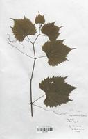 https://bibliotheque-virtuelle.bu.uca.fr/files/fichiers_bcu/Thymelaeaceae_Vitis_rupestris_CLF113659.jpg