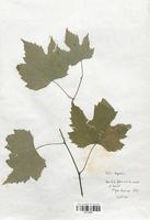 https://bibliotheque-virtuelle.bu.uca.fr/files/fichiers_bcu/Thymelaeaceae_Vitis_rupestris_CLF113660.jpg