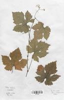 https://bibliotheque-virtuelle.bu.uca.fr/files/fichiers_bcu/Thymelaeaceae_Vitis_vinifera_CLF113658.jpg