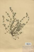 https://bibliotheque-virtuelle.bu.uca.fr/files/fichiers_bcu/Lamiaceae_Calamintha_acinos_CLF113785.jpg