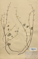 https://bibliotheque-virtuelle.bu.uca.fr/files/fichiers_bcu/Lamiaceae_Calamintha_officinalis_CLF113787.jpg