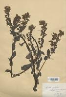 https://bibliotheque-virtuelle.bu.uca.fr/files/fichiers_bcu/Boraginaceae_Cerinthe_glabra_CLF113824.jpg