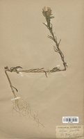 https://bibliotheque-virtuelle.bu.uca.fr/files/fichiers_bcu/Polemoniaceae_Collomia_grandiflora_CLF113857.jpg