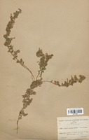 https://bibliotheque-virtuelle.bu.uca.fr/files/fichiers_bcu/Convolvulaceae_Convolvulus_supinus_CLF113850.jpg