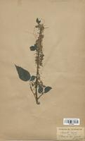 https://bibliotheque-virtuelle.bu.uca.fr/files/fichiers_bcu/Cuscutaceae_Cuscuta_major_CLF113856.jpg