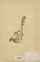 https://bibliotheque-virtuelle.bu.uca.fr/files/fichiers_bcu/Lamiaceae_Dracocepalum_renati_mairei_CLF113723.jpg