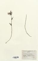 https://bibliotheque-virtuelle.bu.uca.fr/files/fichiers_bcu/Lamiaceae_Dracocepalum_ruyschiana_CLF113724.jpg