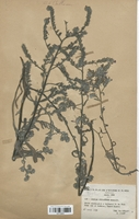 https://bibliotheque-virtuelle.bu.uca.fr/files/fichiers_bcu/Boraginaceae_Echium_micranthum_CLF113823.jpg