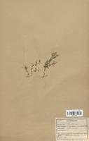 https://bibliotheque-virtuelle.bu.uca.fr/files/fichiers_bcu/Gentianaceae_Erythraea_pulchella_CLF113885.jpg