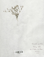 https://bibliotheque-virtuelle.bu.uca.fr/files/fichiers_bcu/Gentianaceae_Exaculum_pusillum_CLF113876.jpg