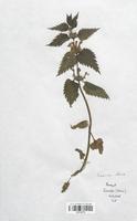 https://bibliotheque-virtuelle.bu.uca.fr/files/fichiers_bcu/Lamiaceae_Lamium_album_CLF113719.jpg