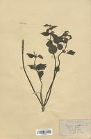 https://bibliotheque-virtuelle.bu.uca.fr/files/fichiers_bcu/Lamiaceae_Lamium_maculatum_CLF113721.jpg