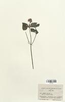 https://bibliotheque-virtuelle.bu.uca.fr/files/fichiers_bcu/Lamiaceae_Mentha_aquatica_capitata_CLF113793.jpg