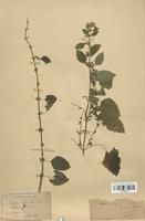 https://bibliotheque-virtuelle.bu.uca.fr/files/fichiers_bcu/Lamiaceae_Mentha_officinalis_CLF113791.jpg