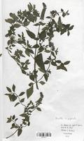 https://bibliotheque-virtuelle.bu.uca.fr/files/fichiers_bcu/Lamiaceae_Mentha_x_piperata_CLF113777.jpg