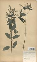 https://bibliotheque-virtuelle.bu.uca.fr/files/fichiers_bcu/Lamiaceae_Mentha_x-villosa_CLF113790.jpg