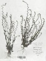 https://bibliotheque-virtuelle.bu.uca.fr/files/fichiers_bcu/Boraginaceae_Myosotis_discolor_discolor_CLF113834.jpg