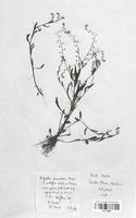 https://bibliotheque-virtuelle.bu.uca.fr/files/fichiers_bcu/Boraginaceae_Myosotis_nemorosa_CLF113837.jpg