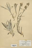 https://bibliotheque-virtuelle.bu.uca.fr/files/fichiers_bcu/Lamiaceae_Phlomis_lychnitis_CLF113727.jpg