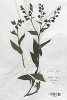 https://bibliotheque-virtuelle.bu.uca.fr/files/fichiers_bcu/Boraginaceae_Pulmonaria_affinis_CLF113809.jpg