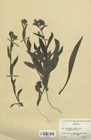 https://bibliotheque-virtuelle.bu.uca.fr/files/fichiers_bcu/Boraginaceae_Pulmonaria_azurea_lanceolata_CLF113817.jpg