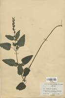https://bibliotheque-virtuelle.bu.uca.fr/files/fichiers_bcu/Lamiaceae_Scutellaria_columnae_CLF113732.jpg