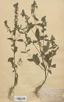 https://bibliotheque-virtuelle.bu.uca.fr/files/fichiers_bcu/Lamiaceae_Stachys_annua_CLF113739.jpg