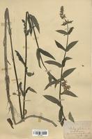 https://bibliotheque-virtuelle.bu.uca.fr/files/fichiers_bcu/Lamiaceae_Stachys_palustris_CLF113745.jpg