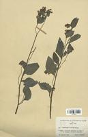 https://bibliotheque-virtuelle.bu.uca.fr/files/fichiers_bcu/Boraginaceae_Symphytum_tauricum_CLF113816.jpg