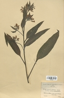 https://bibliotheque-virtuelle.bu.uca.fr/files/fichiers_bcu/Boraginaceae_Symphytum_x-discolor_CLF113812.jpg
