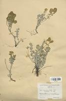 https://bibliotheque-virtuelle.bu.uca.fr/files/fichiers_bcu/Lamiaceae_Teucrium_aureum_latifolium_CLF113755.jpg