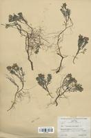 https://bibliotheque-virtuelle.bu.uca.fr/files/fichiers_bcu/Lamiaceae_Teucrium_montanum_CLF113762.jpg