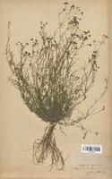 https://bibliotheque-virtuelle.bu.uca.fr/files/fichiers_bcu/Rubiaceae_Asperula_cynanchica_CLF114021.jpg