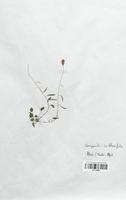 https://bibliotheque-virtuelle.bu.uca.fr/files/fichiers_bcu/Campanulaceae_Campanula_cochlearifolia_CLF113983.jpg