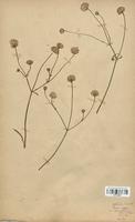 https://bibliotheque-virtuelle.bu.uca.fr/files/fichiers_bcu/Dipsacaceae_Cephalaria_leucantha_CLF113970.jpg