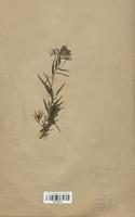 https://bibliotheque-virtuelle.bu.uca.fr/files/fichiers_bcu/Onagraceae_Epilobium_fleischeri_CLF113916.jpg