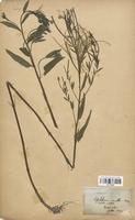 https://bibliotheque-virtuelle.bu.uca.fr/files/fichiers_bcu/Onagraceae_Epilobium_molle_CLF113919.jpg