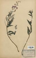 https://bibliotheque-virtuelle.bu.uca.fr/files/fichiers_bcu/Onagraceae_Epilobium_spicatum_CLF113923.jpg