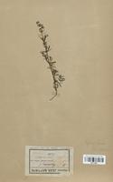 https://bibliotheque-virtuelle.bu.uca.fr/files/fichiers_bcu/Rubiaceae_Galium_boreale_CLF114001.jpg