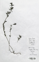 https://bibliotheque-virtuelle.bu.uca.fr/files/fichiers_bcu/Rubiaceae_Galium_boreale_CLF114011.jpg