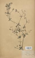 https://bibliotheque-virtuelle.bu.uca.fr/files/fichiers_bcu/Rubiaceae_Galium_elongatum_CLF114015.jpg