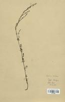 https://bibliotheque-virtuelle.bu.uca.fr/files/fichiers_bcu/Rubiaceae_Galium_lucidum_CLF114005.jpg