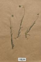 https://bibliotheque-virtuelle.bu.uca.fr/files/fichiers_bcu/Campanulaceae_Jasione_montana_CLF113986.jpg