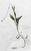 https://bibliotheque-virtuelle.bu.uca.fr/files/fichiers_bcu/Dipsacaceae_Knautia_arvensis_indivisa_CLF113968.jpg