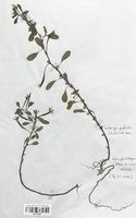 https://bibliotheque-virtuelle.bu.uca.fr/files/fichiers_bcu/Onagraceae_Ludwigia_peploides_CLF113927.jpg