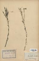 https://bibliotheque-virtuelle.bu.uca.fr/files/fichiers_bcu/Haloragaceae_Myriophyllum_alterniflorum_CLF113892.jpg